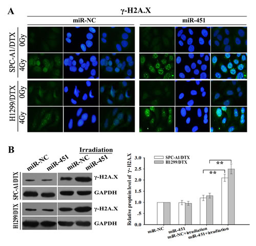Effect of miR-451 expression on irradiation-mediated DNA DSBs of docetaxel-resistant LAD cells.