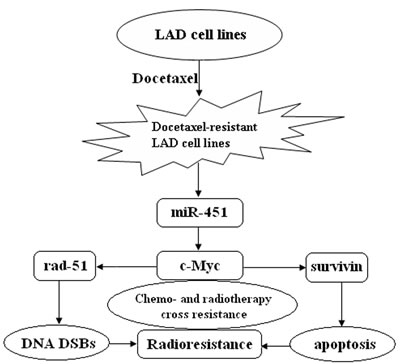 A proposed model for miR-451/c-Myc-rad-51/survivin signaling pathway in chemo- and radiotherapy cross resistance in LAD cells.