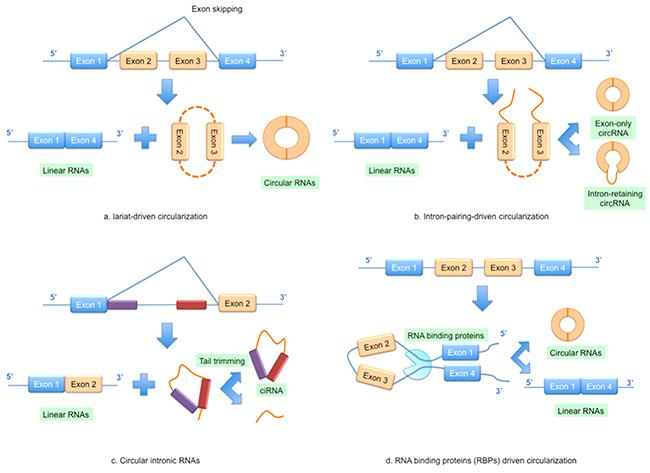 Models of circular RNA (circRNA) biogenesis.