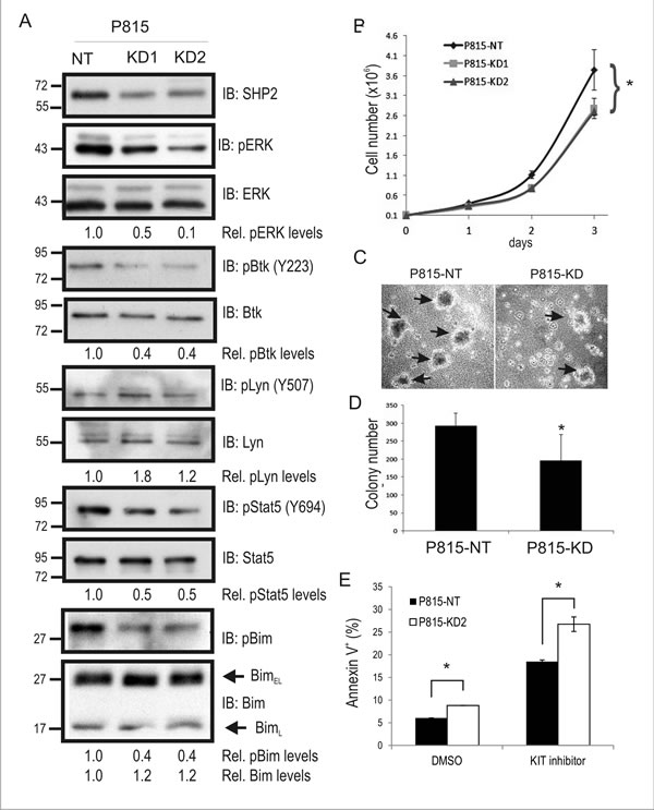 SHP2 promotes mouse mastocytoma cell growth, and colony formation.