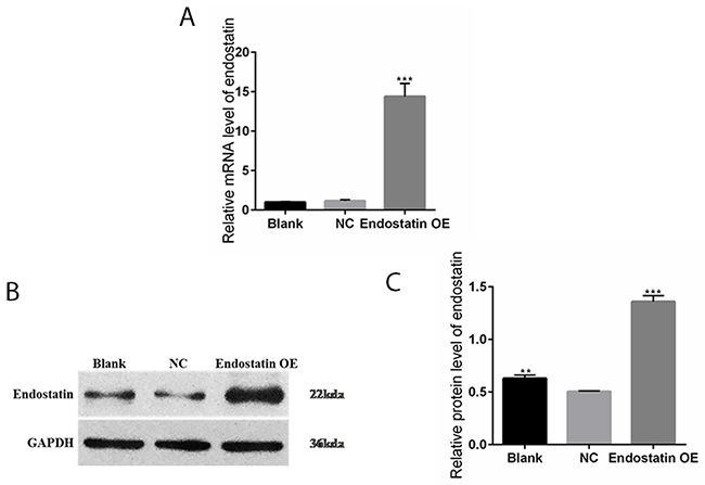 Increased endostatin expression in transfected EPC line.