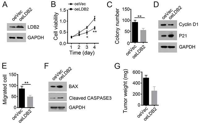 LDB2 overexpression inhibits tumor cell proliferation and migration.
