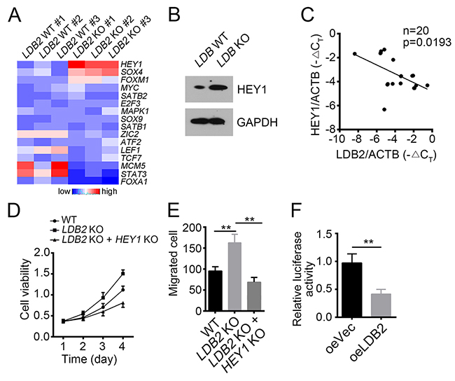 LDB2 inhibits HEY1 expression.