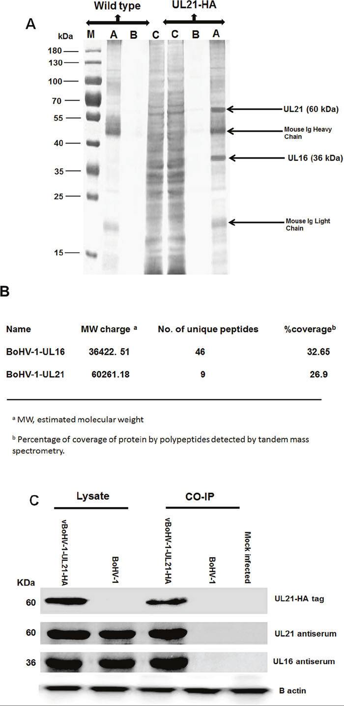 Characterization of the UL21 protein by mass spectrometry.