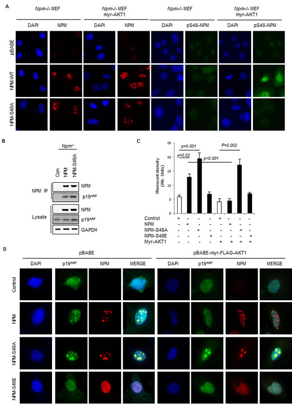 Fig.2: Phosphorylation of NPM-Ser48 regulates the localization of NPM and p19A.