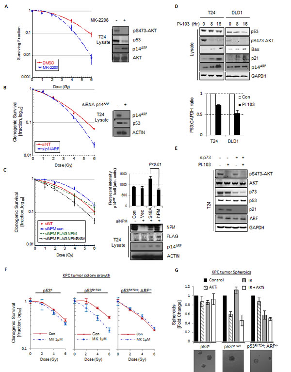Fig.6: p14ARF has oncogenic activity in p53mut cells.