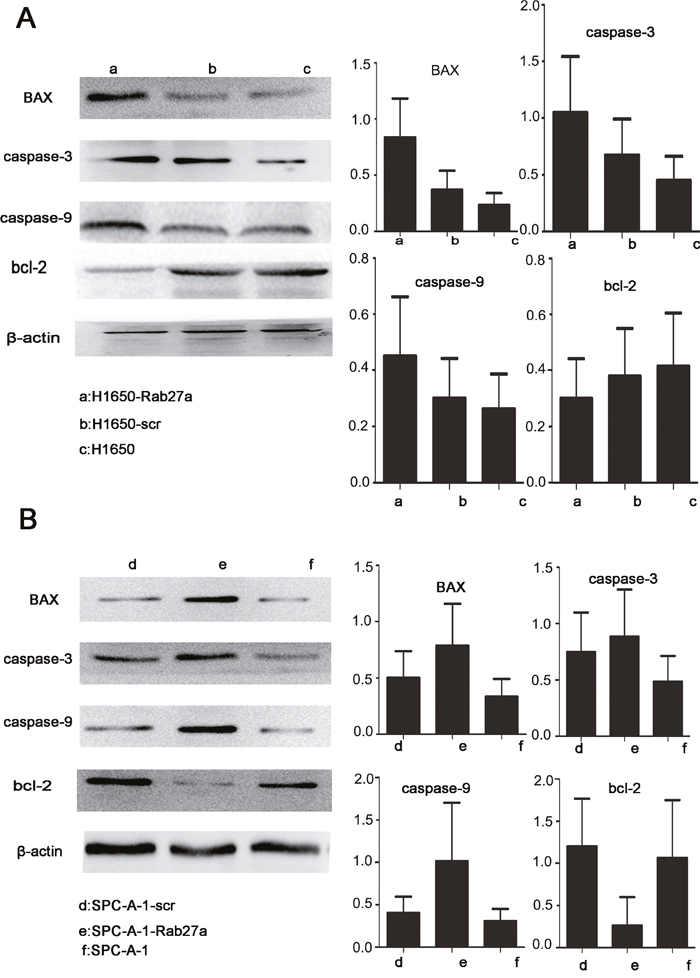 Rab27a expression and apoptosis in vitro.
