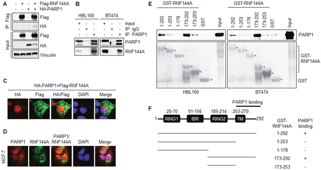 RNF144A interacts with PARP1 through its C-terminal region containing the transmembrane domain.