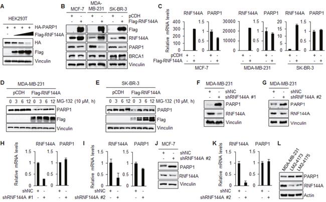 RNF144A promotes the proteasomal degradation of PARP1.