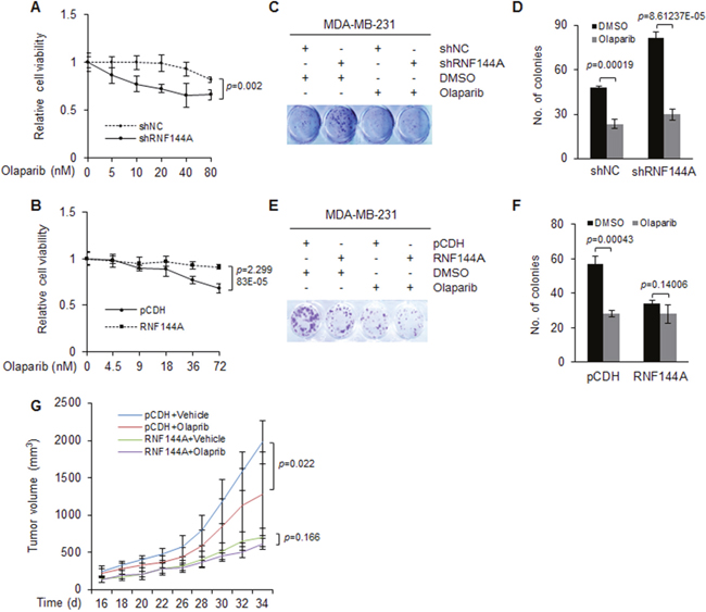 The expression levels of RNF144A are associated with cellular sensitivity to PARP inhibitor olaparib in vitro and in vivo.
