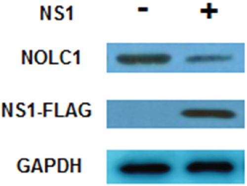 NS1 inhibits the synthesis of NOLC1.