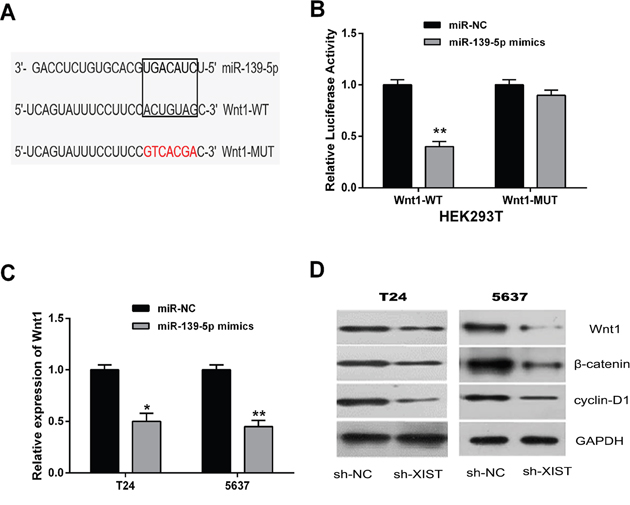 MiR-139-5p inactivated the Wnt/β-catenin signaling pathway through directly targeting Wnt1.