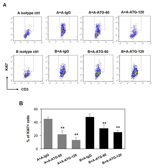 ATG-induced Treg cells are capable to supress both autologus and allogeneic T cell proliferation.