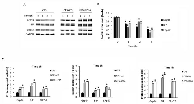 CPS reduces UPR protein levels, and autophagy reverts CPS-induced inhibitory effects.