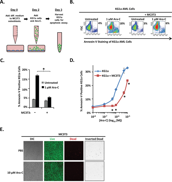 Differentiating MC3T3 osteoblasts protect KG1a AML cells from Ara-C-induced apoptosis.