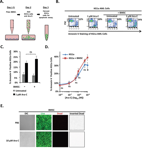 An immortalized human BMSC cell line fails to protect KG1a AML cells from Ara-C-induced-apoptosis.