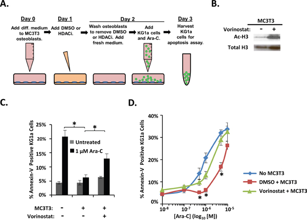 Vorinostat pre-treatment of differentiating MC3T3 osteoblasts reduces osteoblast-mediated protection of KG1a AML cells from Ara-C-induced-apoptosis.