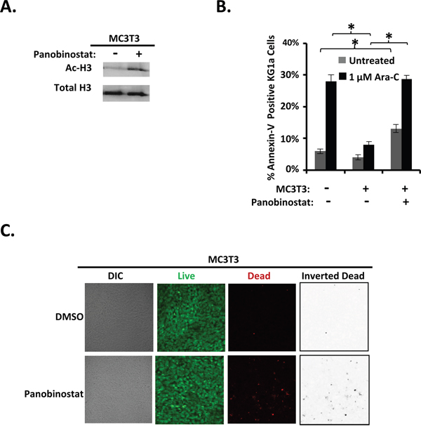 Panobinostat pre-treatment of differentiating MC3T3 osteoblasts inhibits osteoblast-mediated protection of KG1a AML cells from Ara-C-induced-apoptosis.