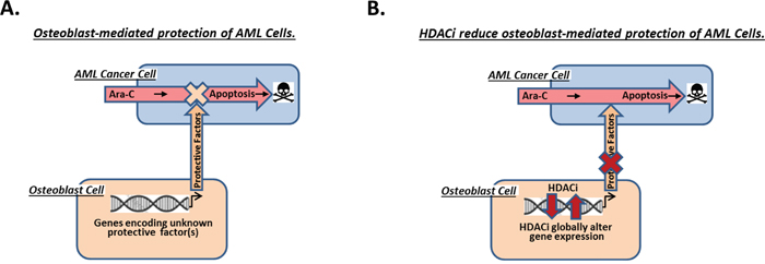 Model of AML cell protection from Ara-C-induced apoptosis by differentiating osteoblasts within the endosteal niche of the bone marrow.