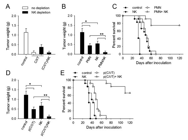 Normal NK cells are required for better efficacy of therapeutic approach based on neutrophil priming.