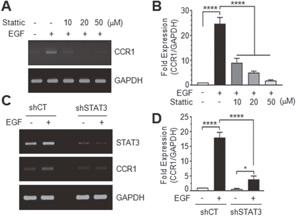 Effect of STAT3 silencing on CCR1 expression.