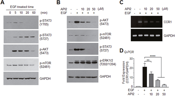 Effect of AKT inhibition on EGF-induced STAT3 phosphorylation and CCR1 expression.