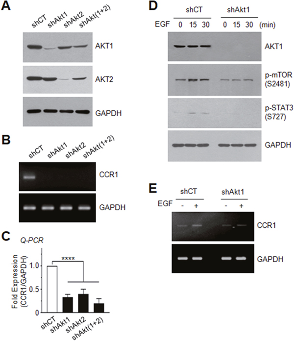 Effect of AKT silencing on EGF-induced STAT3 phosphorylation and CCR1 expression.