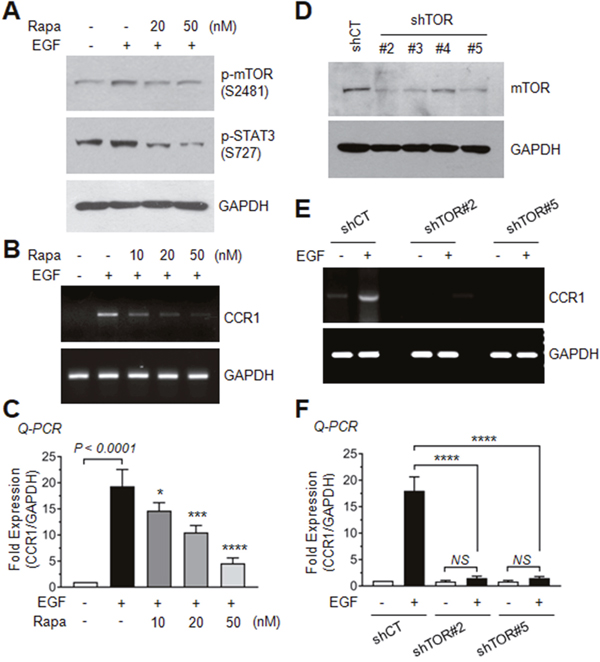 Role of AKT-dependent mTOR activation in EGF-induced CCR expression.