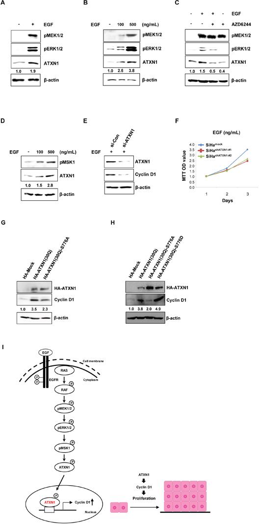 Upstream EGFR–RAS–MAPK pathway components regulate ATXN1 levels.