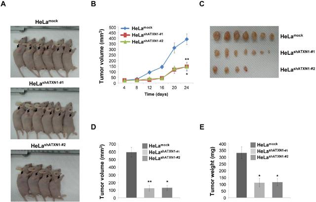 Tumor induction in mice HeLashATXN1-#1 and HeLashATXN1-#2 cells.