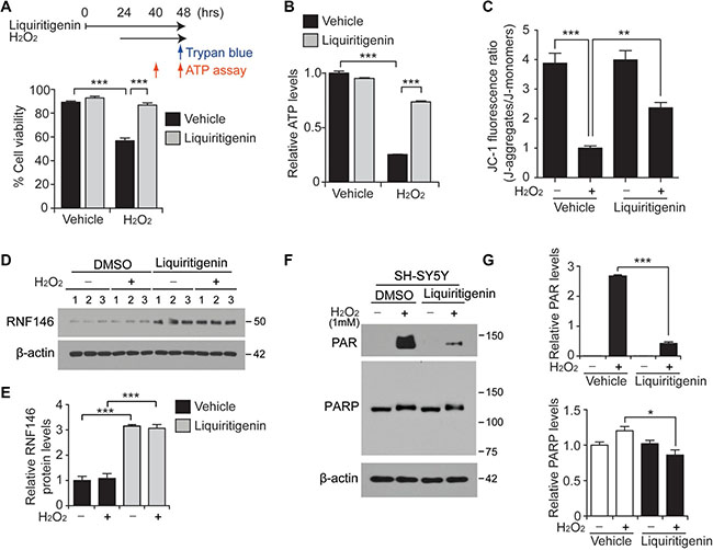 Liquiritigenin protects SH-SY5Y cells from oxidative stress via RNF146 expression and PARP1 inhibition.