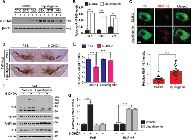 The RNF146 inducer liquiritigenin prevents dopamine neuron loss in a PD mouse model.