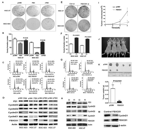 FBXO31 inhibited the colony formation and induced G1-phase cell cycle arrest