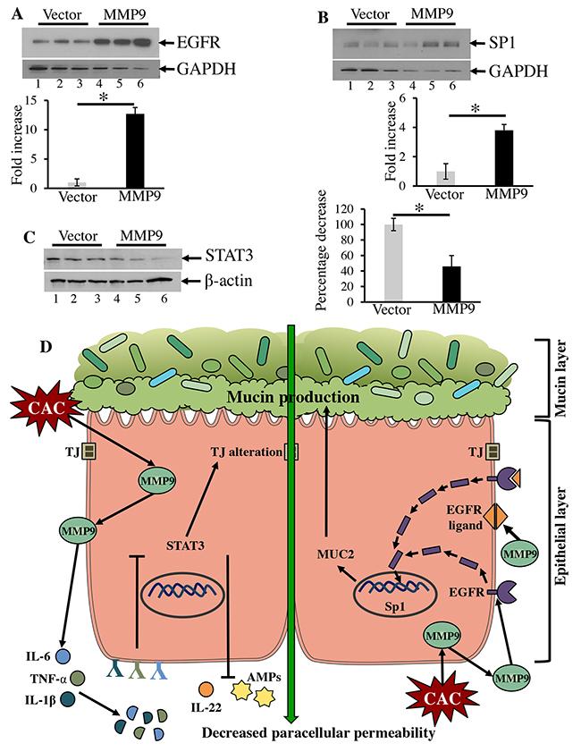 MMP9 activates EGFR1 signaling.