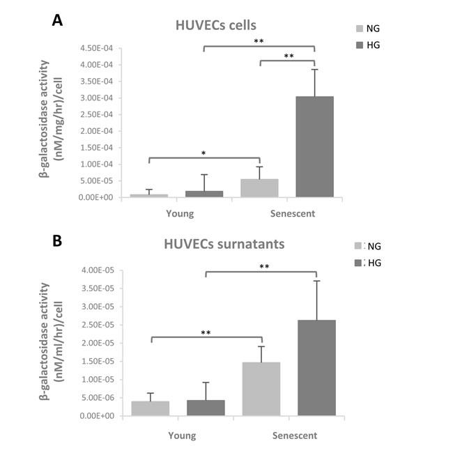 β-Gal activity evaluated in young and senescent HUVECs cultured both in normoglycaemic and hyperglycaemic milieu.