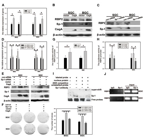 RBP2 expression induced by CagA is Sp1 dependent.
