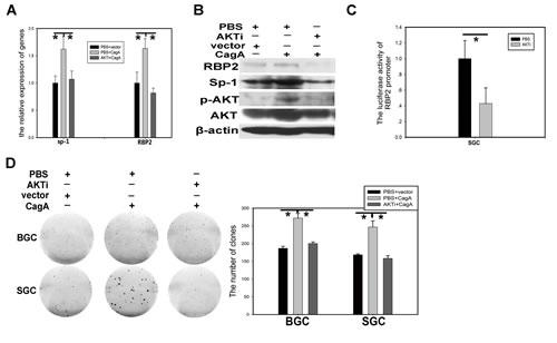 PI3K/AKT participates in RBP2 induction by CagA through Sp1.