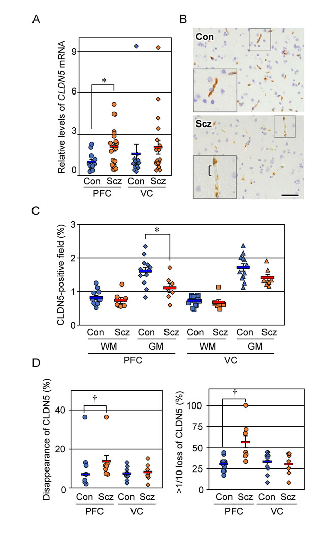 Expression of CLDN5 mRNA and protein is reciprocally modulated in the PFC gray matter of schizophrenia.