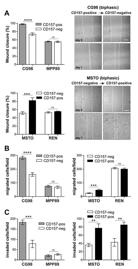 CD157 increases MPM cell motility and invasiveness.