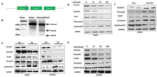 Lentiviral CRISPR/Cas9 nickase-mediated BIRC5 gene editing led to inhibition of EMT in ovarian cancer cells.
