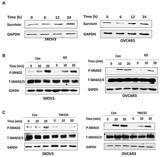 Lentiviral CRISPR/Cas9 nickase-mediated BIRC5 gene editing attenuated the TGFβ pathway in ovarian cancer cells.