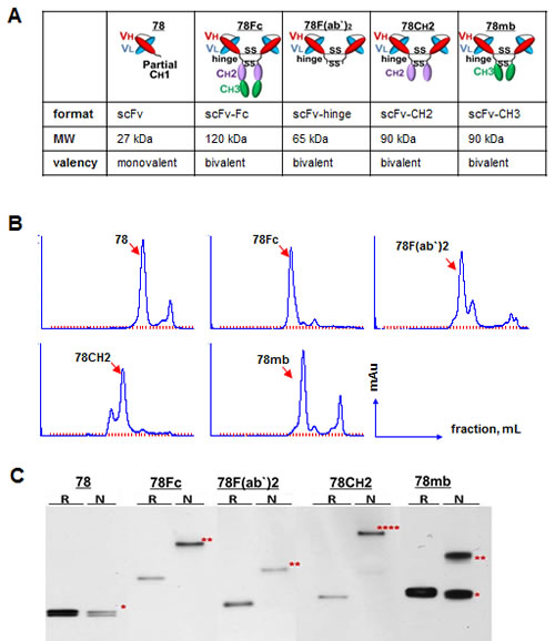 Fig.1: Development, purification, and characterization of scFc78 fusion proteins.