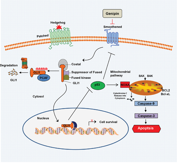 Schematic of the working model of genipin-induced apoptosis.