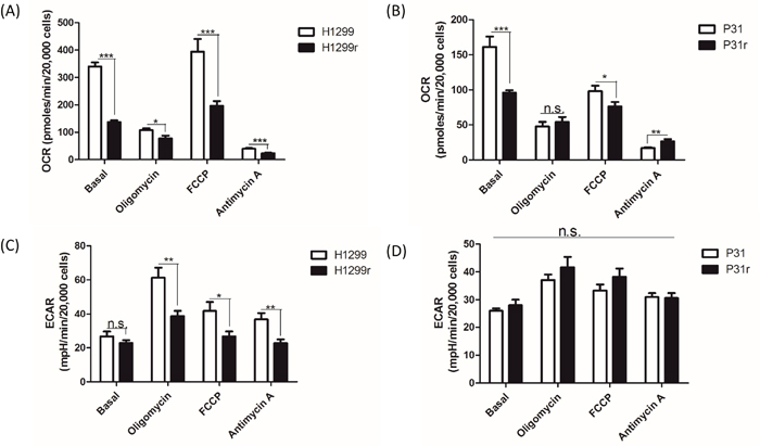 A comparative profile of whole cellular oxygen consumption rates and extracellular acidification rates for H1299, H1299r, P31 & P31r as determined by the Seahorse extracellular flux analyser.
