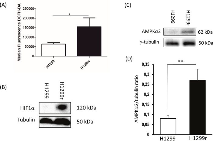 Reactive oxygen species production and expression of stabilized HIF1α and AMPK subunit α2 and in H1299 and H1299r cells.