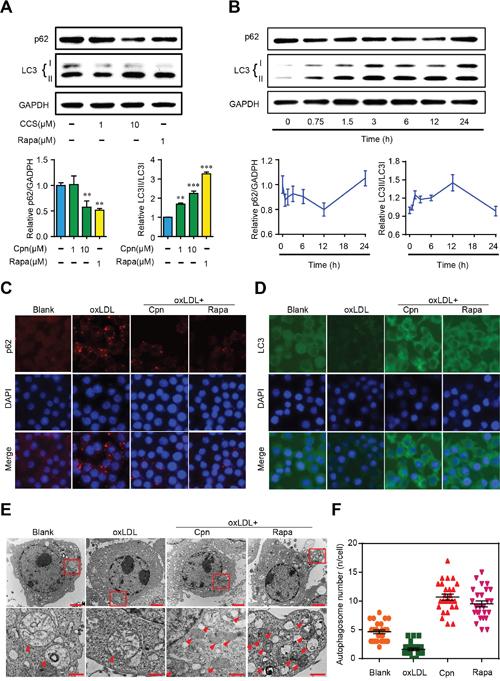 Cordycepin (Cpn) promoted macrophage autophagy.