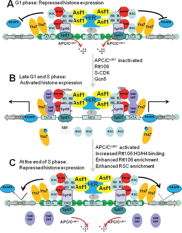 Model for histone gene regulation in budding yeast.