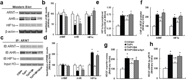 Betulinic acid-mediated AHR expression suppresses the HIF1α pathway in THP1 cells.