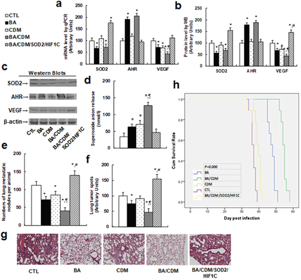 Combination of betulinic acid (BA) and chidamide (CDM) additively potentiates oxidative stress and suppresses tumor growth in in vivo xenograft tumor development, while overexpression of SOD2 and constitutive HIF1α (HIF1C) diminishes this effect.