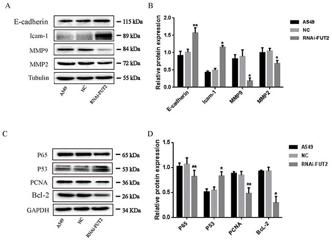 Effects of down-regulation of FUT2 on the expression of migration-associated and apoptosis-associated proteins in A549 cells.